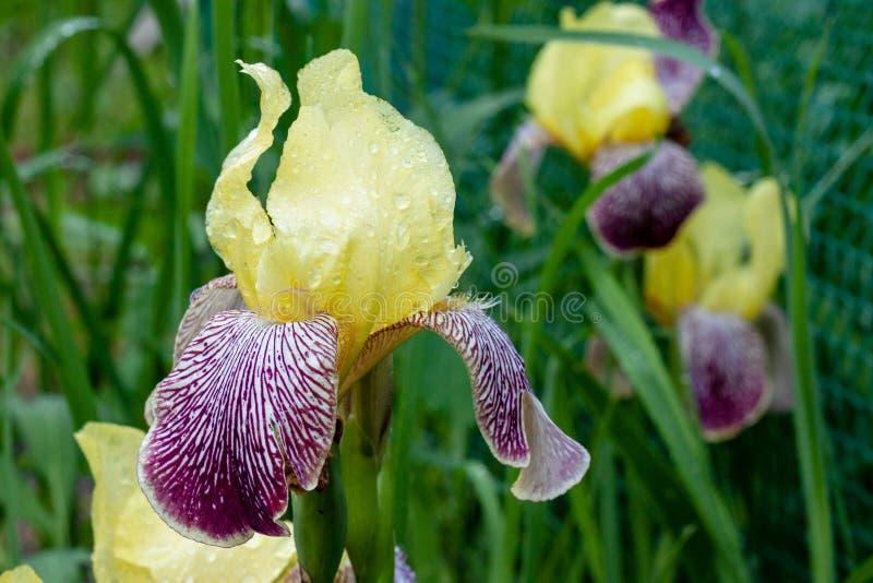 Amarillo hermoso de la flor del iris con púrpura con descensos de rocío fotografía de archivo