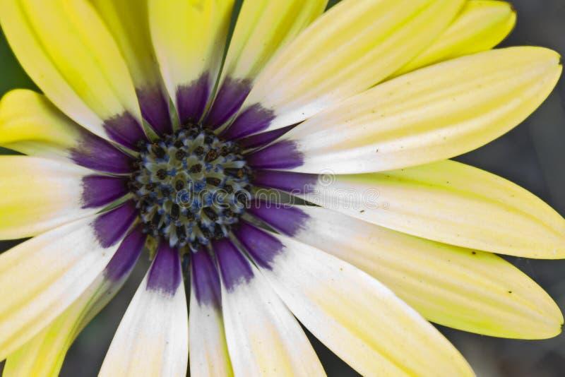 Amarillo hermoso y Purpe Daisy Blazing en el verano Sun imágenes de archivo libres de regalías