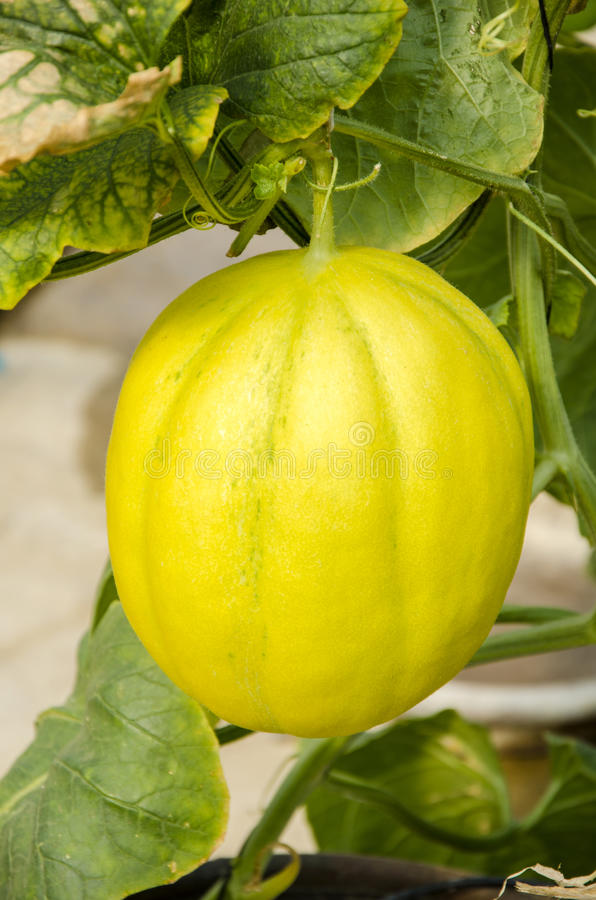 Amarillo melón de ligamaza o de la cáscara amarillo del cantalupo fotos de archivo libres de regalías