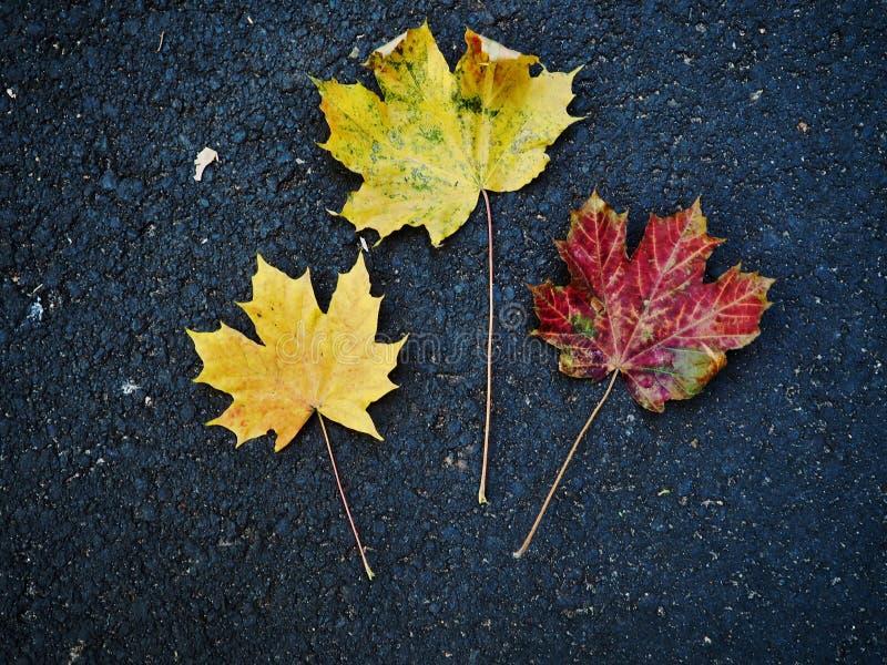 Amarillo rojo colorido de las hojas en el camino negro foto de archivo