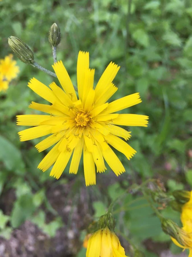 Amarillo suizo de las montañas de la flor imagenes de archivo