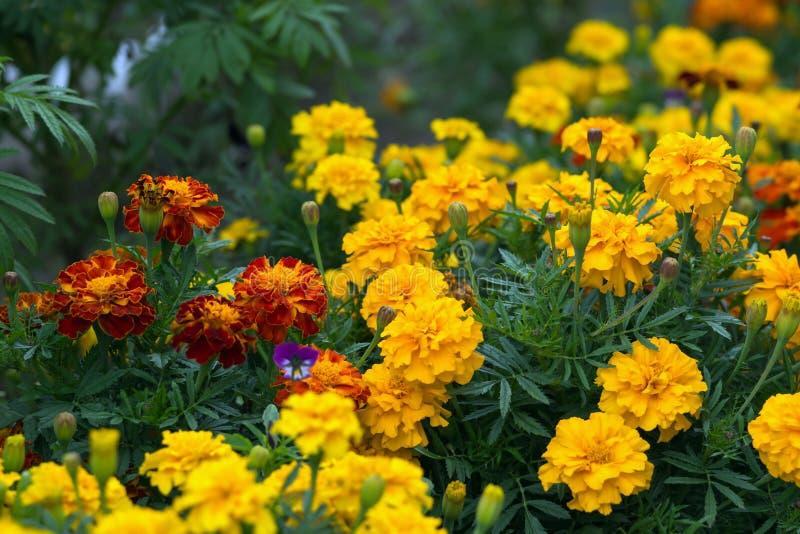 Amarillo y naranja florece tagetes en el período floreciente en el macizo de flores fotografía de archivo libre de regalías