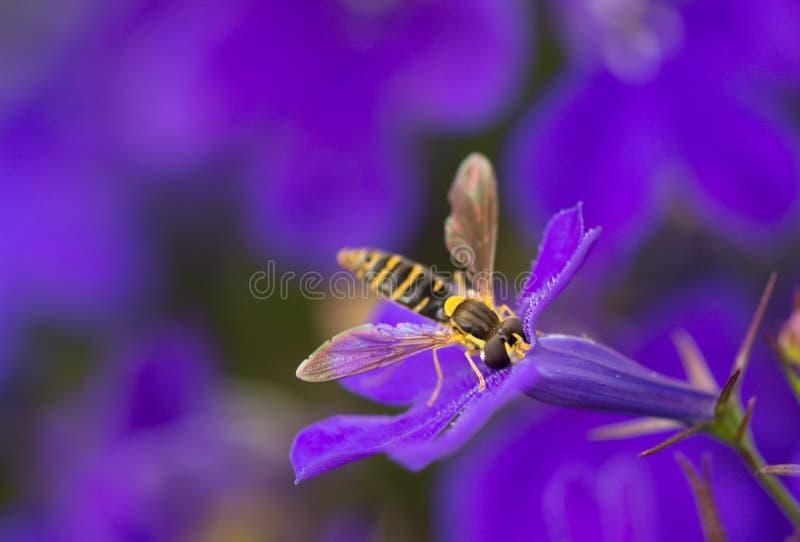 Amarillo y negro de la mosca imagenes de archivo