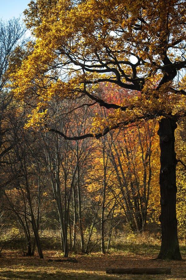 Amarillo y rojo se va teniendo en cuenta el sol en un día soleado del otoño en el bosque en la ciudad Luz del sol con el t imágenes de archivo libres de regalías