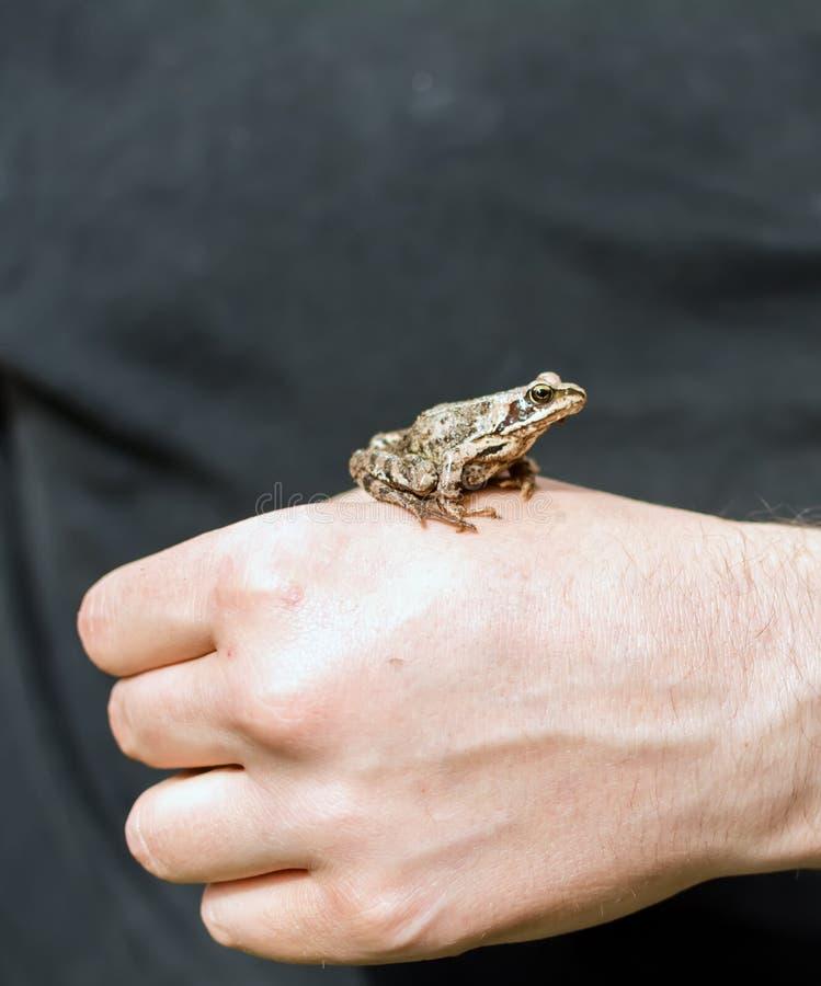 Amarre los arvalis del Rana de la rana que se sientan en una mano del ` s del hombre imagen de archivo libre de regalías