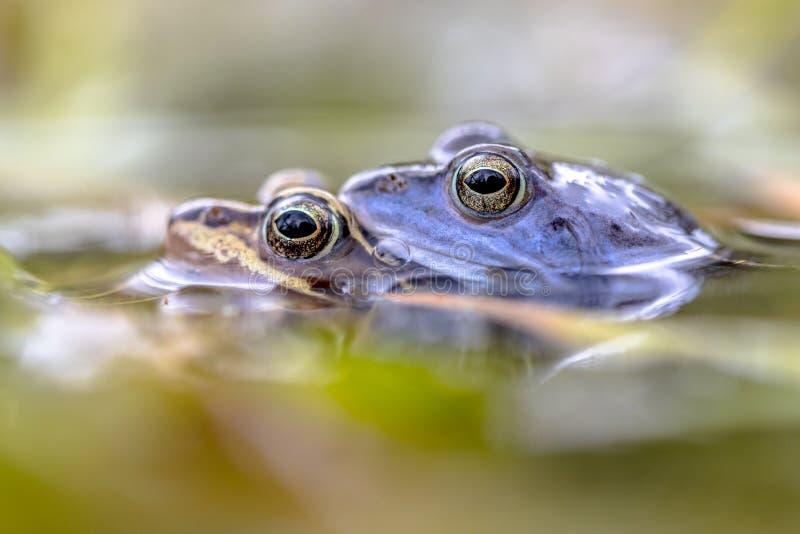 Amarrez l'accouplement de couples de grenouille submersed dans l'eau image stock