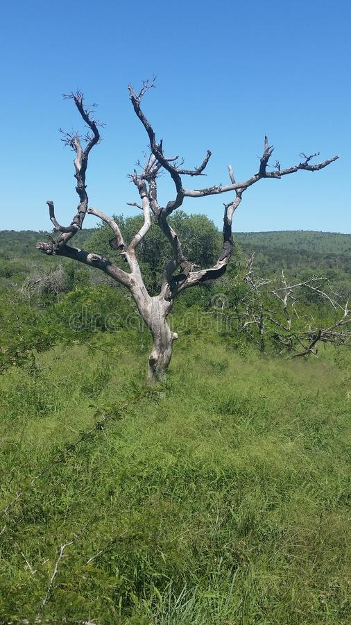 Amarula drzewo fotografia royalty free