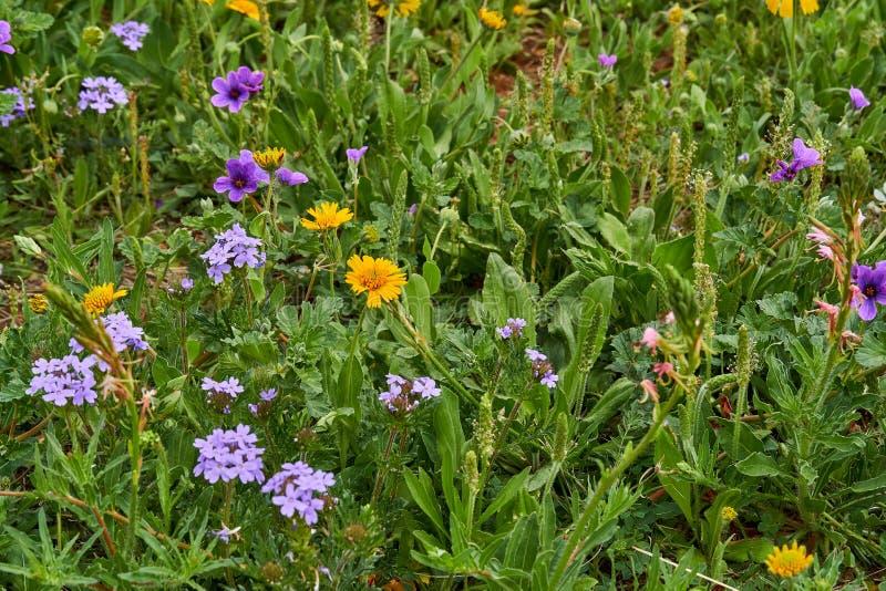 Amarum giallo di helenio di Sneezweed della toppa del Wildflower, texanum del Erodium della fattura della cicogna del Texas, verb immagine stock