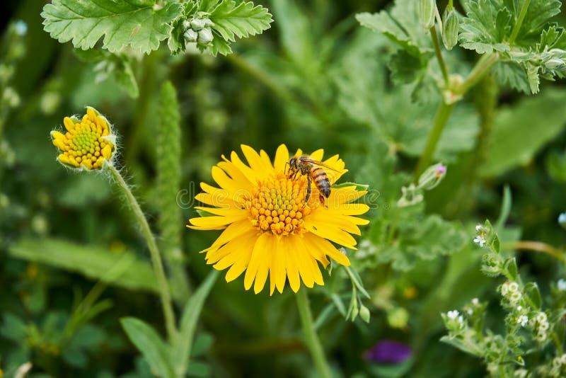 Amarum jaune de Helenium de Sneezweed de beau ressort sauvage avec l'abeille et le fond vert photographie stock