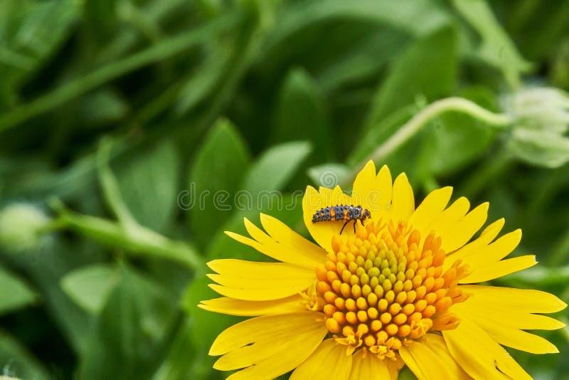 Amarum jaune de Helenium de Sneezweed de beau ressort sauvage avec la larve de coccinelle sur la fleur et le fond vert photos stock