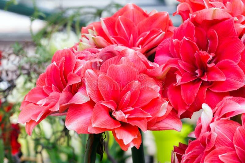 amarylek kwitnie czerwień zdjęcia stock