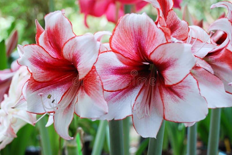 Amarylis花,红色外缘 免版税图库摄影