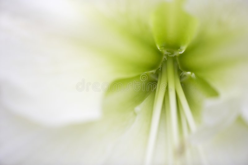 amarylisy fotografia stock