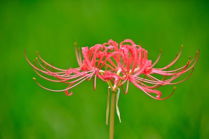 Amaryllidaceae цветет полностью цветене стоковые изображения rf