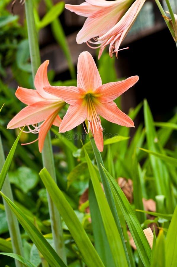 Amaryllidaceae imagem de stock