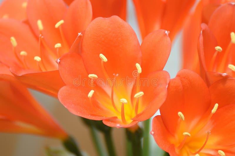 Amaryllidaceae, clivia flower macro. stock photo