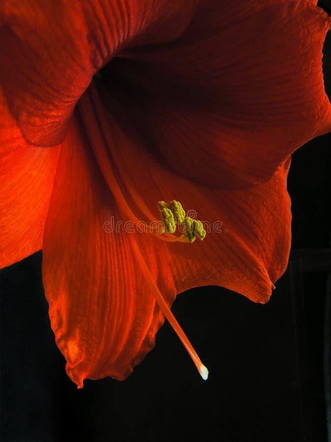 Amaryllis royalty-vrije stock foto's