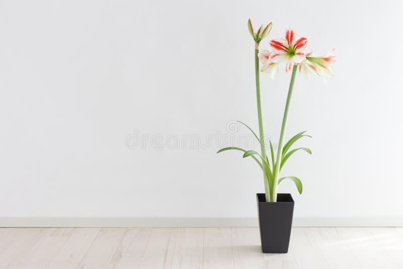 Amaryllis photo stock