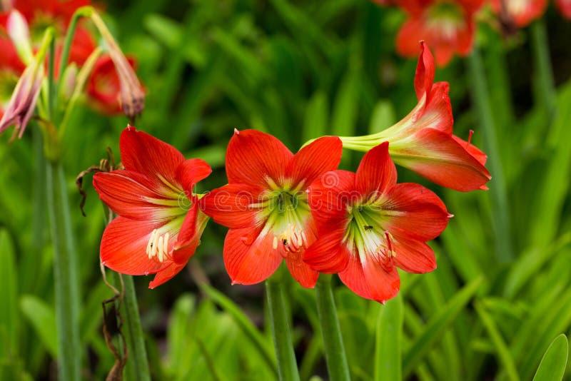 amaryllis fotografia stock libera da diritti