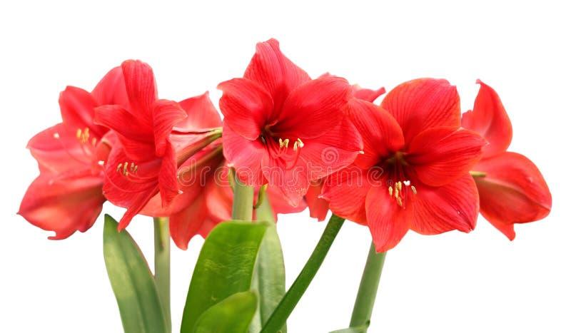 amaryllis fotos de stock royalty free