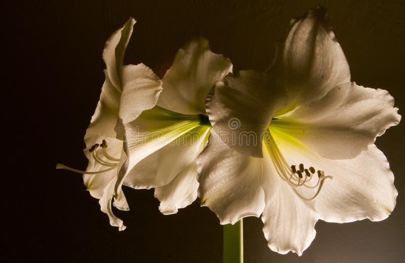 Amaryllis royaltyfri fotografi