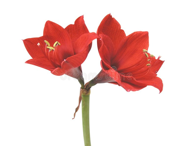 Amaryllis stock photography