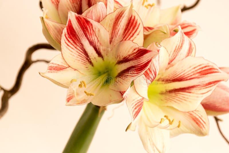 amaryllis fotografia de stock royalty free