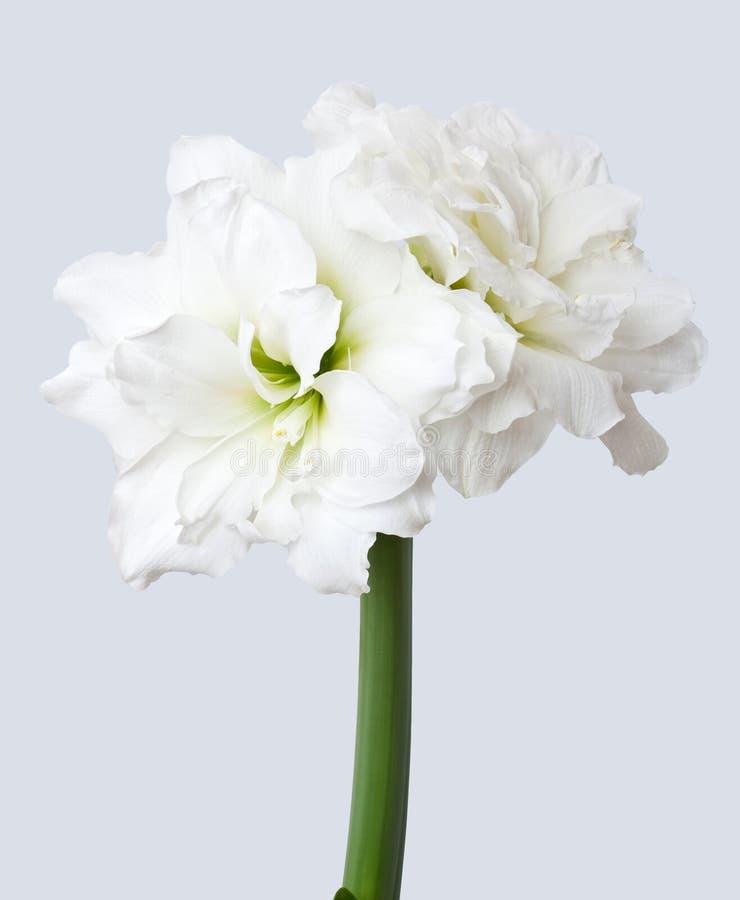 Amaryllis Alfresco op grijs royalty-vrije stock fotografie