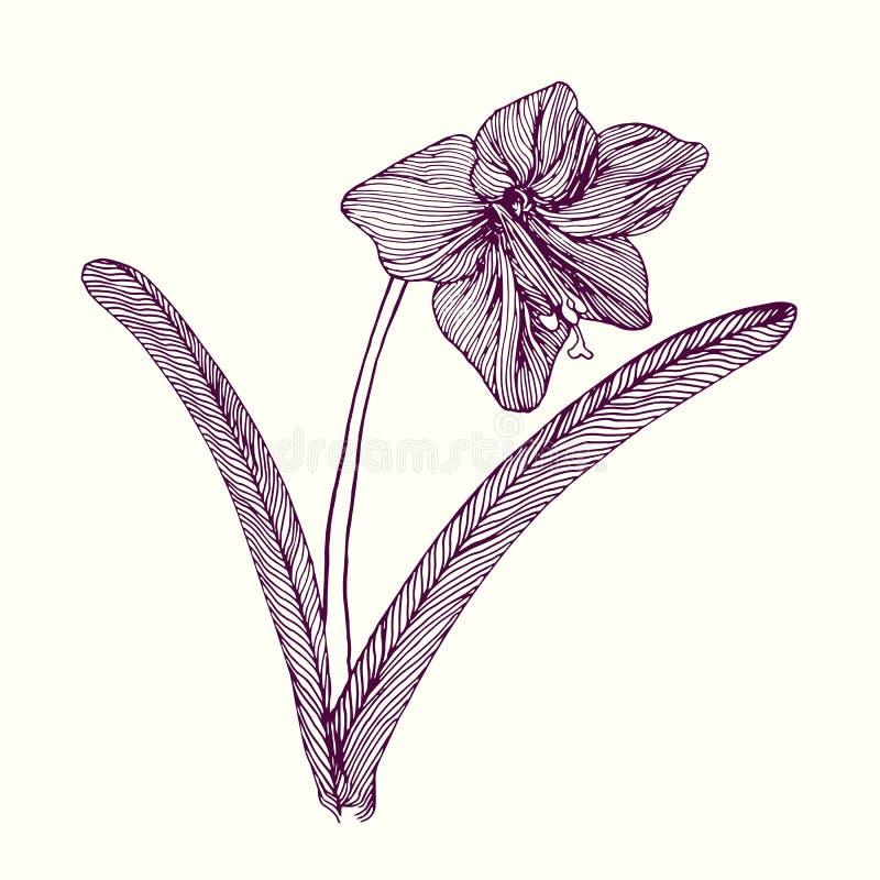 Amaryllis-bloem, stam met bladeren en bloesem, hand getrokken krabbel, schets, vectorillustratie vector illustratie