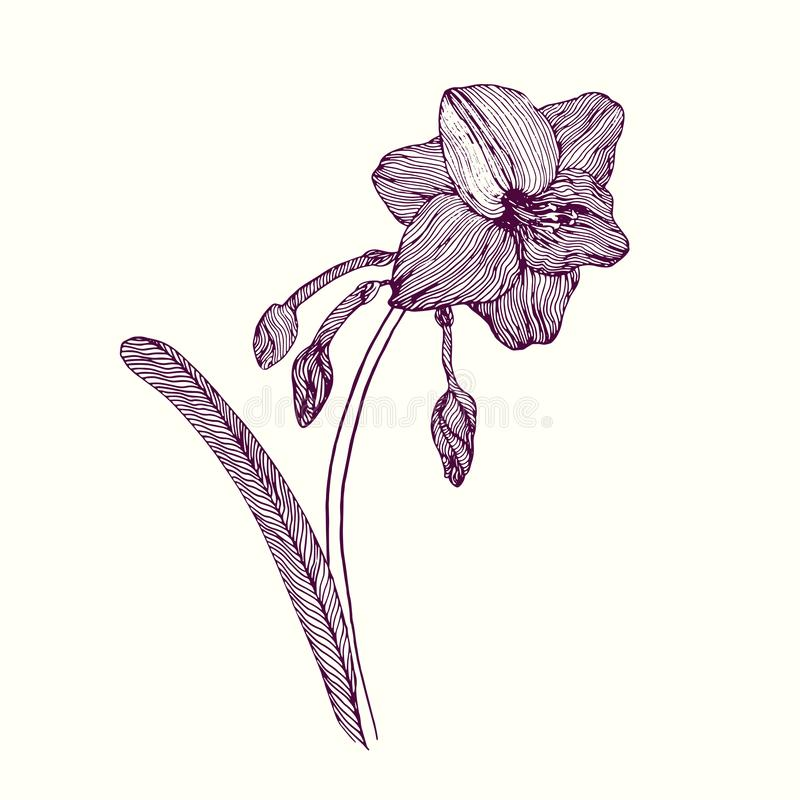Amaryllis-bloem, stam met bladeren, knoppen en bloesem, hand getrokken krabbeloverzicht, vectorillustratie vector illustratie