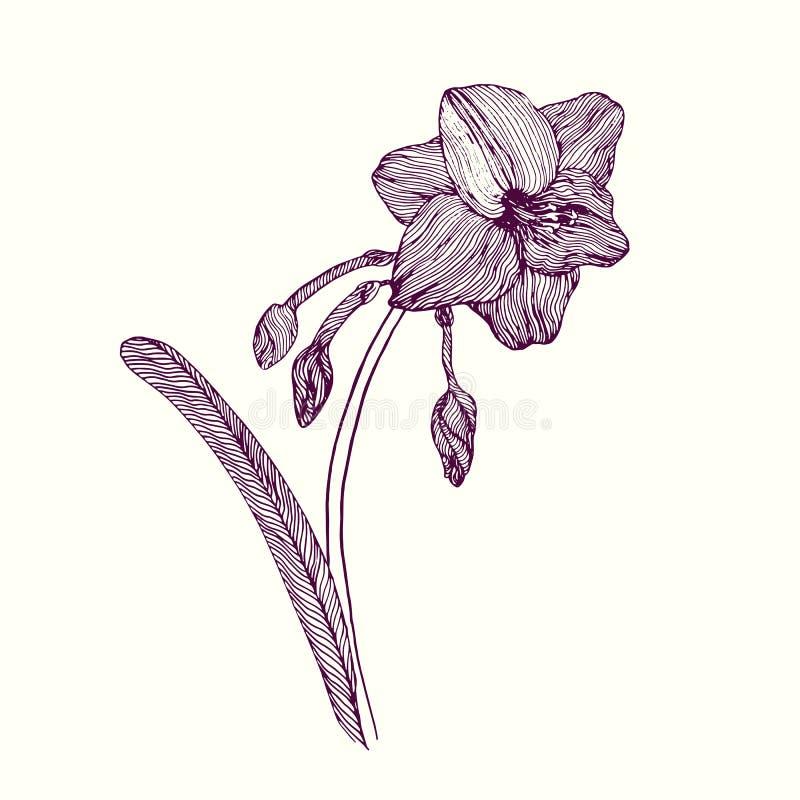 Amaryllis-Blume, Stamm mit Blättern, Knospen und Blüte, Handgezogener Gekritzelentwurf, Vektorillustration vektor abbildung