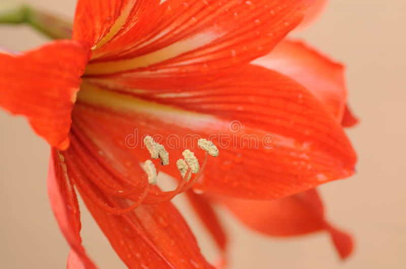 Download Amaryllis Bulbs Of Red Color Stock Image - Image: 13507713