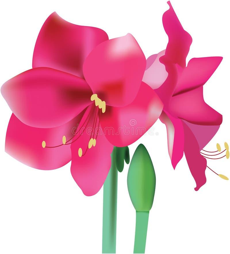 Amaryllis cor-de-rosa bonito da flor ilustração do vetor