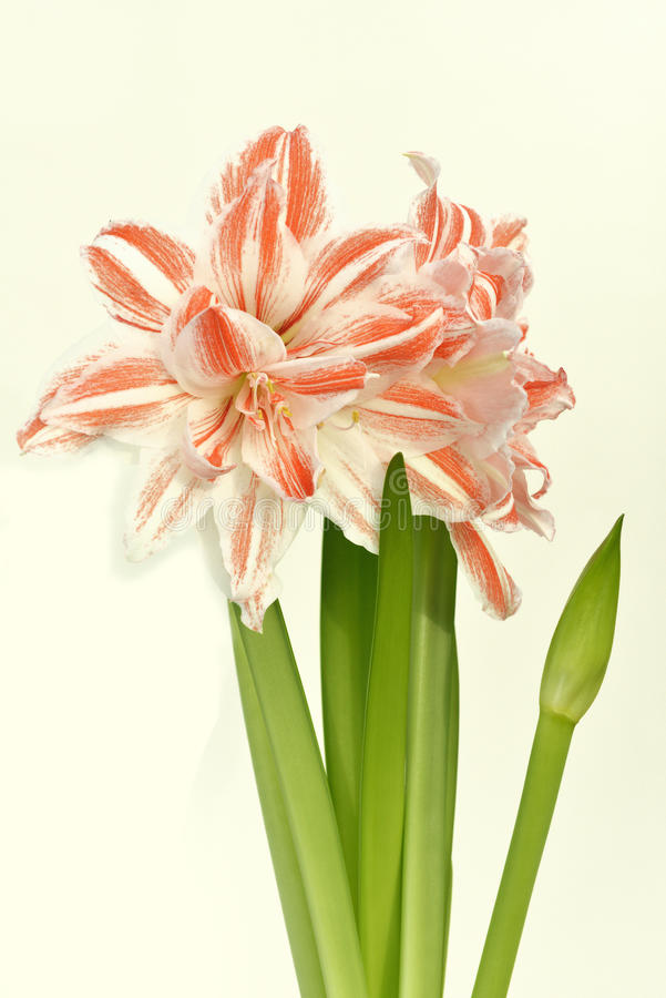 Amaryllis dancing queen royalty free stock images