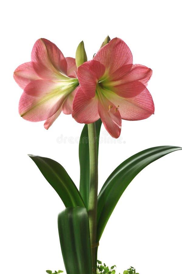 Amaryllis de florescência fotos de stock