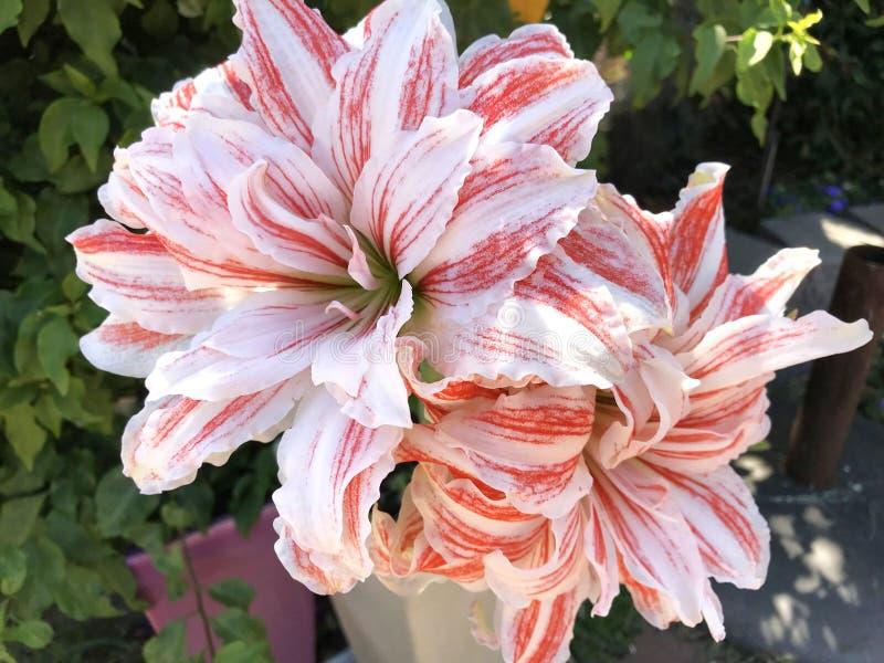 Amaryllis Double Hippeastrum barrée rouge et blanche géante, fleurs de Dancing Queen images libres de droits