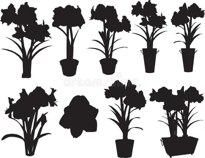 Amaryllis en crisoles imagen de archivo libre de regalías