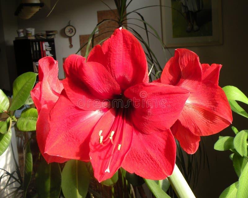 amaryllis Fiori nel giardino in un giorno soleggiato fotografia stock libera da diritti