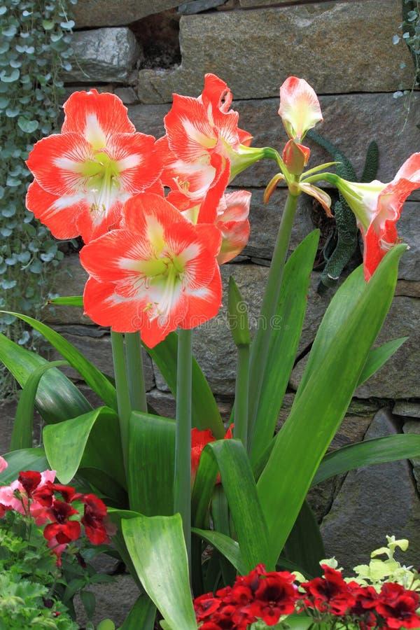 Amaryllis Flower photos stock