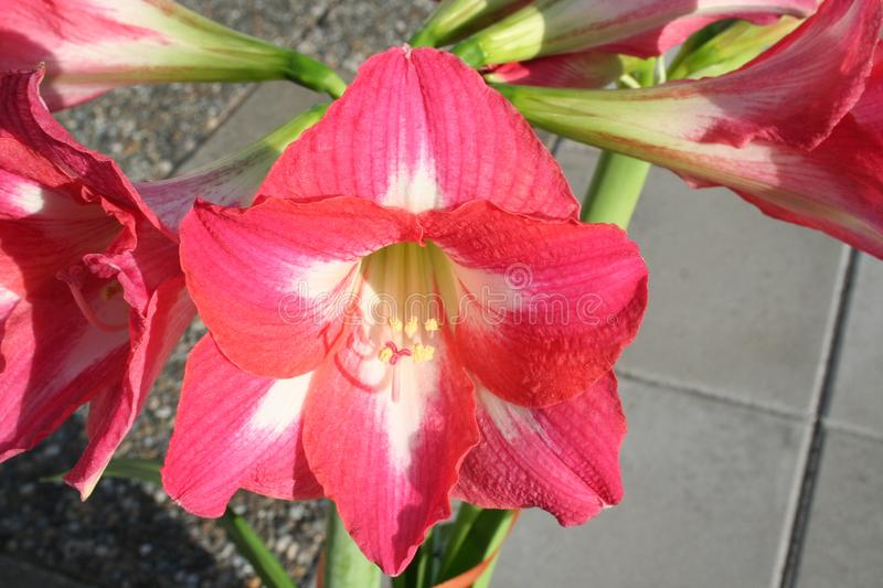 Amaryllis flower in blossom with a wonderful middle stock images
