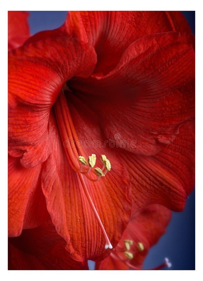 Download Amaryllis Flower stock photo. Image of color, elegance - 32930716