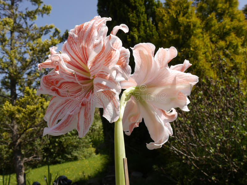 Amaryllis Flower in garden setting. Amaryllis Hippeastrum species are popular for their 6 to 10 inch trumpet shaped flowers. Although red and scarlet are the stock photos
