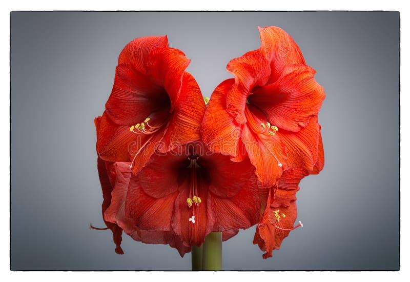 Download Amaryllis Flower stock image. Image of loveliness, petal - 32930767