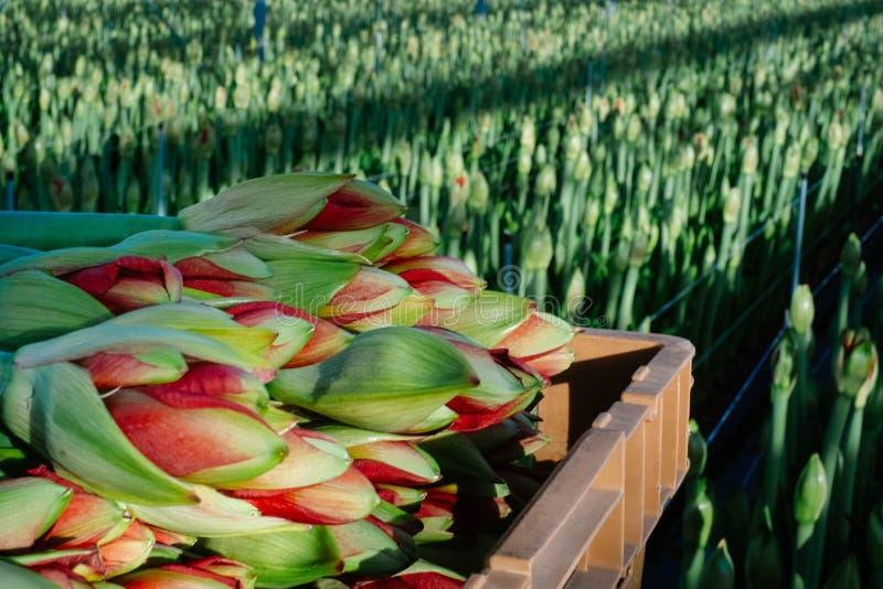 Amaryllis flowers production stock images