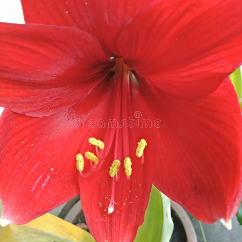 Amaryllis flowers usually start blooming at the beginning of the rainy season usually can only last for 2-3 weeks stock photo