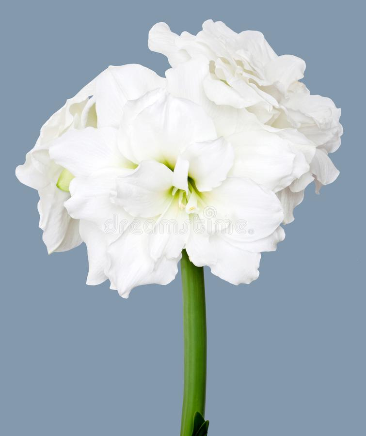 Amaryllis Hippeastrum Alfresco stock fotografie