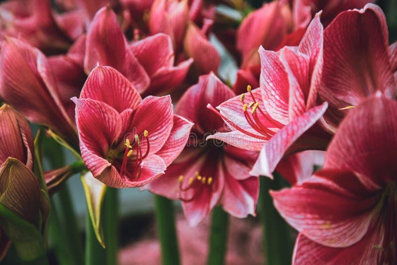 Amaryllis Hippeastrum blommor i trädgård fotografering för bildbyråer