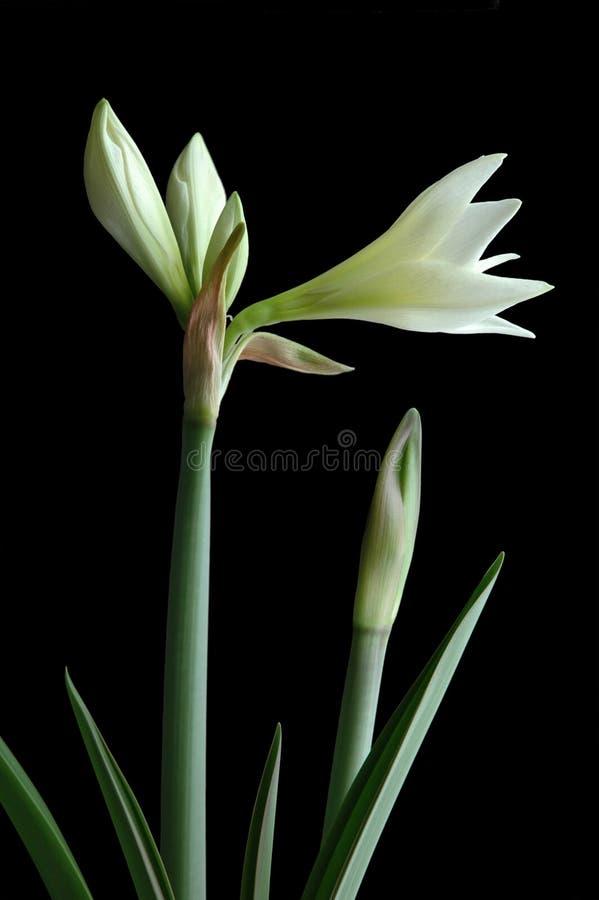 Amaryllis na flor imagem de stock