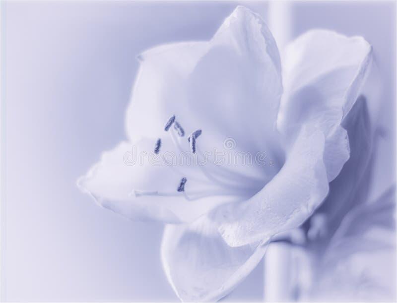 Amaryllis op blauw royalty-vrije stock foto's