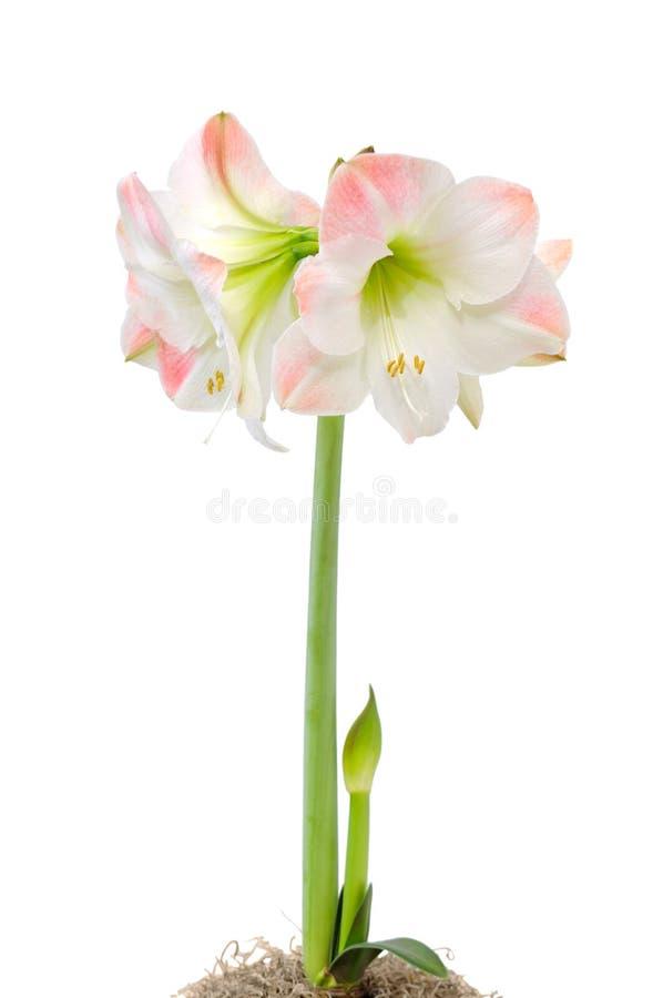 Amaryllis op wit stock foto's